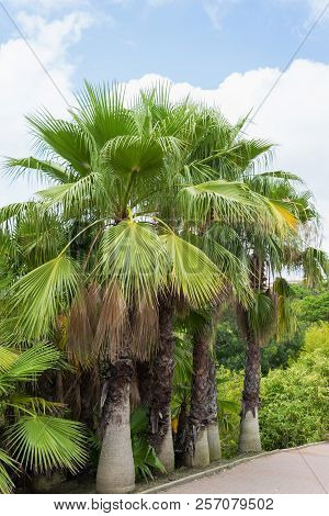 Beautiful Palms In Park La Bateria. Torremolinos, Malaga. Spain.