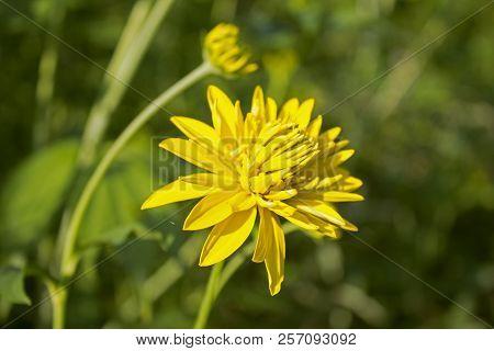 Big Beautiful Yellow Fully Faded Garden Flower
