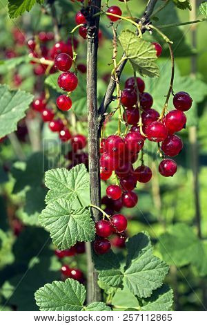 Branch Of Red Currant With Lots Of Ripe Berries