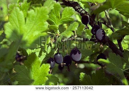 Gooseberry Branch With Some Ripe Black Berries