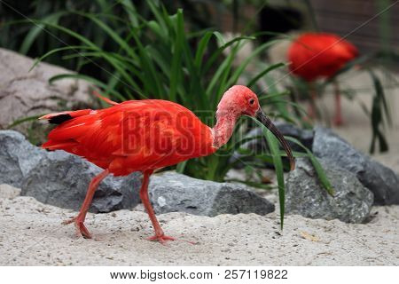 Full Body Of Scarlet Ibis (eudocimus Ruber) A Species Of Ibis In The Bird Family Threskiornithidae.