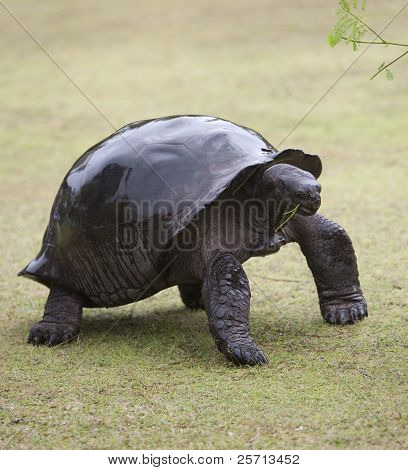 A picture of a big dark brown turtle with her shell wet from rain holding a piece of light green branch in her mouth poster