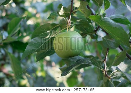 Apple On A Tree. Apple Tree With Fruits Of Apples. Green Apple In An Apple Orchard.