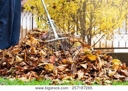 Man Collecting Fallen Autumn Leaves In The Yard First Person View