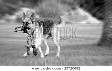 German shepherd carrying rope in field poster