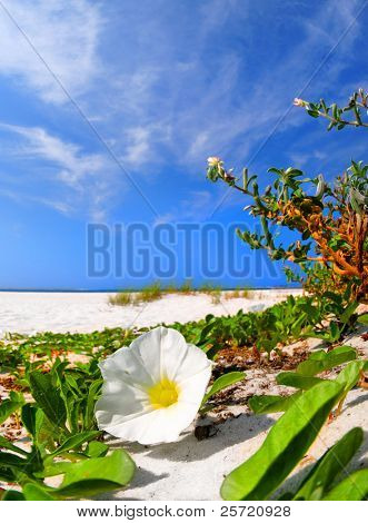White morning glory blossom on beach by cactus