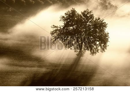 Single Olive Tree In The Beautiful Sunny Fog At Sunrise, Natural Background With Sun Rays Through Th
