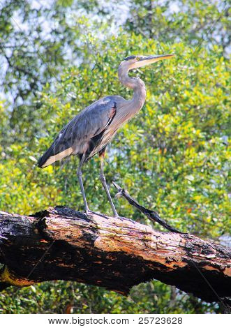Great blue heron on burnt tree in coastal florida poster
