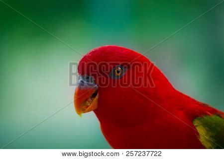 A Portrait Of A Red Parrot In A Soft Green Background.