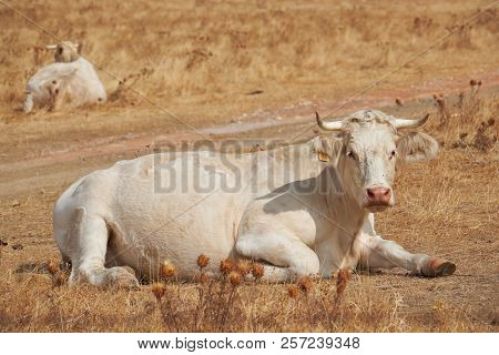 Charolais Cow, Ruminating After Grazing In The Dehesas Of Extremadura. Spain