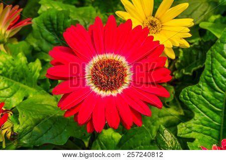 Red Barberton Daisy Gerbera Jamesoni Asterceae Flower Perrenial
