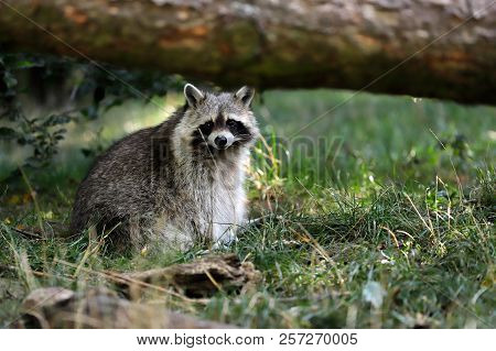 Portrait Of Adult Male Lotor Common Raccoon (procyon Lotor) Under The Tree Trunk. Photography Of Nat