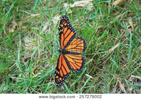A Monarch Butterfly In The Prairies Of Eastern North Dakota.