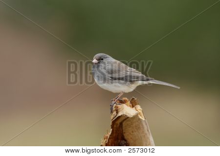 Dark-eyed Junco (junco hyemalis) on a stump in winter poster