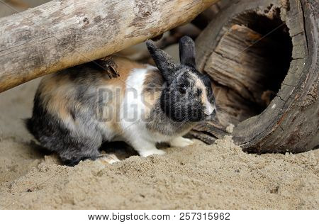 Full Body Of Beige-grey-white Domestic Pygmy Rabbit (bunny). Photography Of Nature And Wildlife.