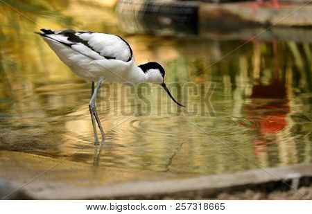 Portrait Of Pied Avocet (recurvirostra Avosetta) Black And White Waterbird.  Photography Of Nature A