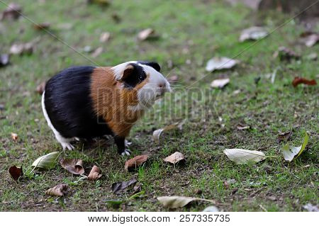 Full Body Of Black-white-brown Domestic Guinea Pig (cavia Porcellus) Cavy. Photography Of Nature And