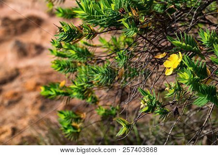 Green Shrub Of Genista With Yellow Flowers