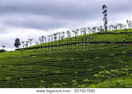 India Is One Of The Largest Tea Producers In The World, Although Over 70 Percent Of Its Tea Is Consu
