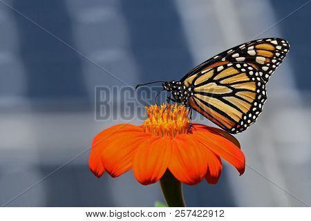 Monarch Butterfly On Tithonia Diversifolia Or Mexican Sunflower With Solar Panels In Background. It