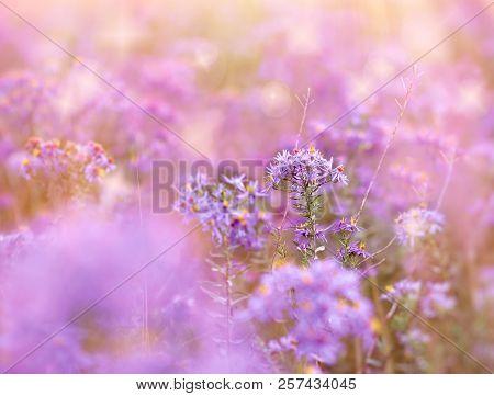 Beautiful Meadow Flowers, Flowering Purple Flower In Meadow