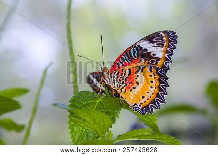 Monarch Butterfly On A Leaf In The Forest.