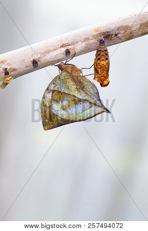 A Row Of Ready To Emerge Pupae Of The Plain Tiger Butterfly, Danaus Chrysippus, Glued To A Stick. On