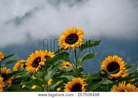 Sunflower Fields In Full Bloom With Hills And Clouds In The Background. Sunflower Festival In  Vanco