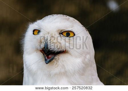 Beautiful White Owl With Yellow Eyes And Beak
