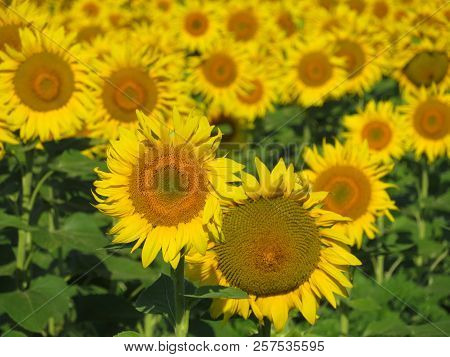 Field Of Blooming Sunflowers In Sunny Day, Idyllic Scene. Picturesque Rural Landscape, Wonderful Vie