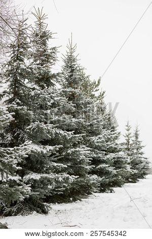 A Snowy Evergreen Tree In The Open Air. Preparation For Decorating Evergreen Trees With Christmas De