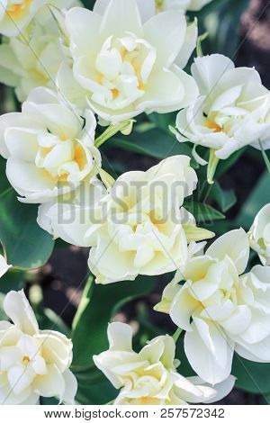 A Lot Of White Tulips With Yellow Pestles, A White Tulip With A Yellow Center, A Meadow With White T