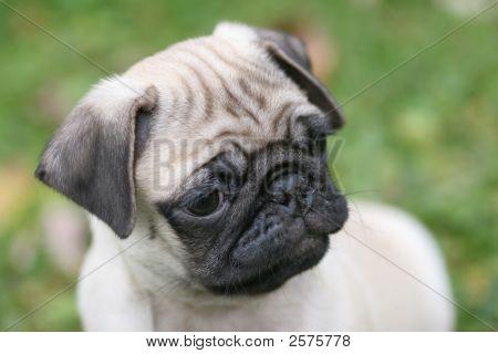 Llittle Pug