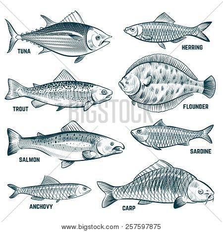 Sketch Fishes. Trout And Carp, Tuna And Herring, Flounder And Anchovy. Hand Drawn Commercial Fish Ve