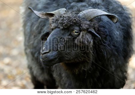 Portrait Of Domestic Black Racka Wallachian Sheep With Unusual Spiral-shaped Horns. Photography Of N