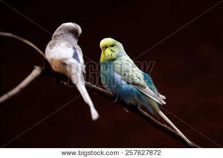 Portrait Of  Budgerigar (melopsittacus Undulatus) Common Parakeet Or Small Seed-eating Parrot. Photo