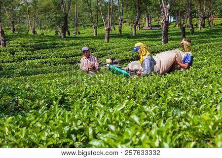 Lawang, Indonesia - July 16, 2018: Indonesian Men Work Hard At Highland Tea Plantation. Farmers Pick