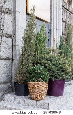 Conifers In The Flowerpot. Large Flowerpots Near The House.