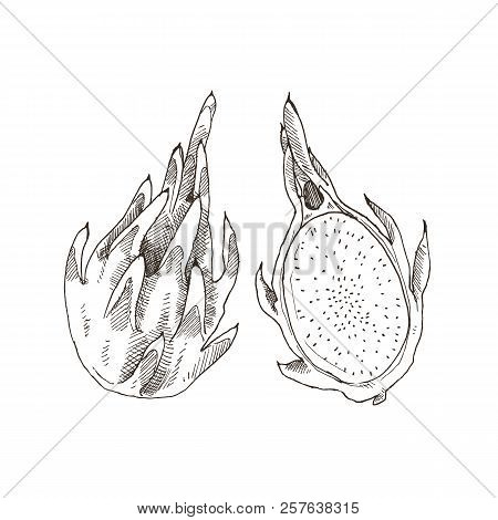 Hand Drawn Dragonfruit  Isolated On White Background. Tropical Fruit Sketch Vector Illustration.