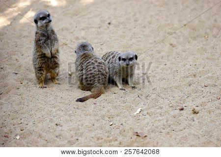 A Mob Of Of Sitting Wild African Meerkats (suricata Suricatta). Photography Of Nature And Wildlife.