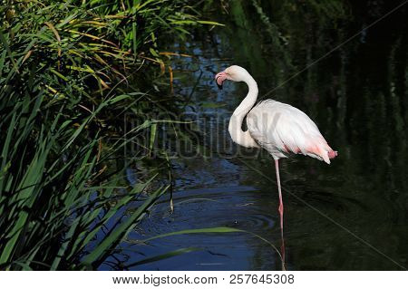 Full Body Of Flame-colored Flamingo Bird Wading On The Lake. Photography Of Nature And Wildlife.