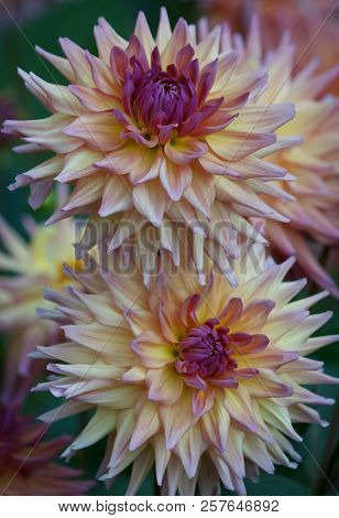 Closeup Of Two Beautiful Multi-colored Dahlia Flower