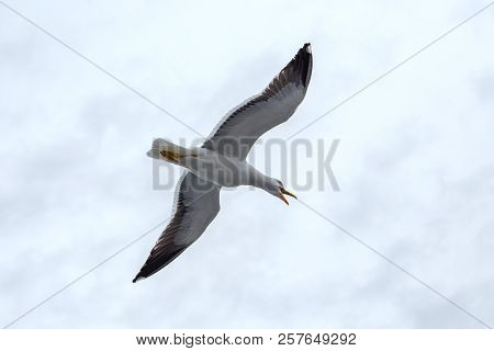 Screaming Seagull Against The Sky In Rainy Weather