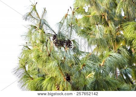 Pine Cones On The Branches Of A Green Coniferous Tree