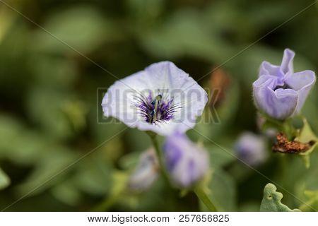 Chilenian Bellflower (nolana Humifusa)