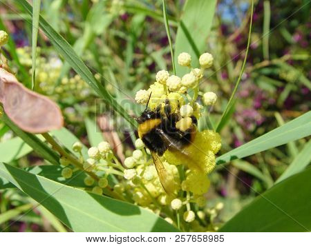 Bumblebee Gathers Nectar And Pollen From The Flower. The First Stage Of Honey Production