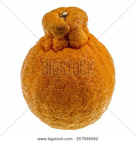 Sumo Citrus, Also Called Dekopon, Is A Seedless And Sweet Mandarin Variety, Distinctive Due To Its L