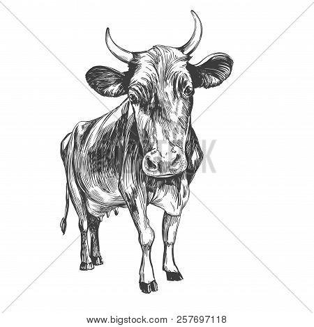 Cow - Domestic Animal, Farm Hand Drawn Vector Illustration Sketch