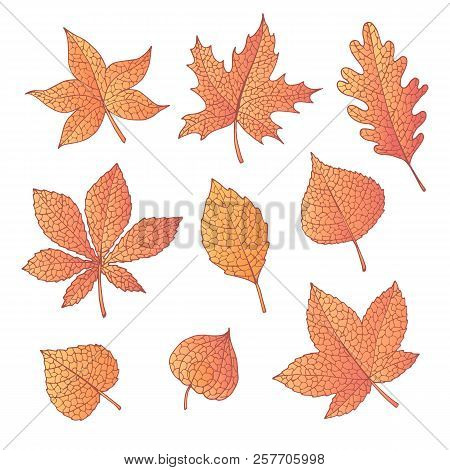 Hand Drawn Vector Autumn Set With Oak, Poplar, Beech, Maple, Aspen And Horse Chestnut Leaves And Phy