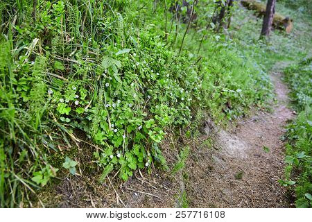 Beautiful Winding Path Among Flowering Plants And Trees In A Spring Coniferous Forest. Hiking Trail.
